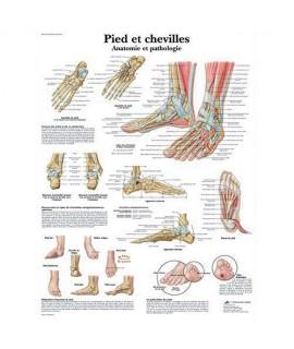 Planches anatomiques - Système Squelettique