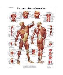 Planche anatomique - Muscles