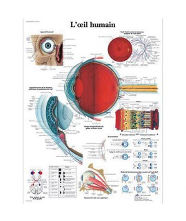 Planche anatomique - Yeux