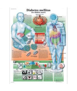 Planche anatomique - Système métabolique